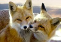 Foxlover4u